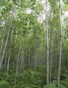 Young Aspen Forest